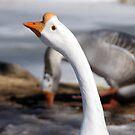 Threatening goose by agenttomcat