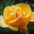 Australian Gold - in my Garden by EdsMum