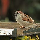 Male House Sparrow by Robert Abraham