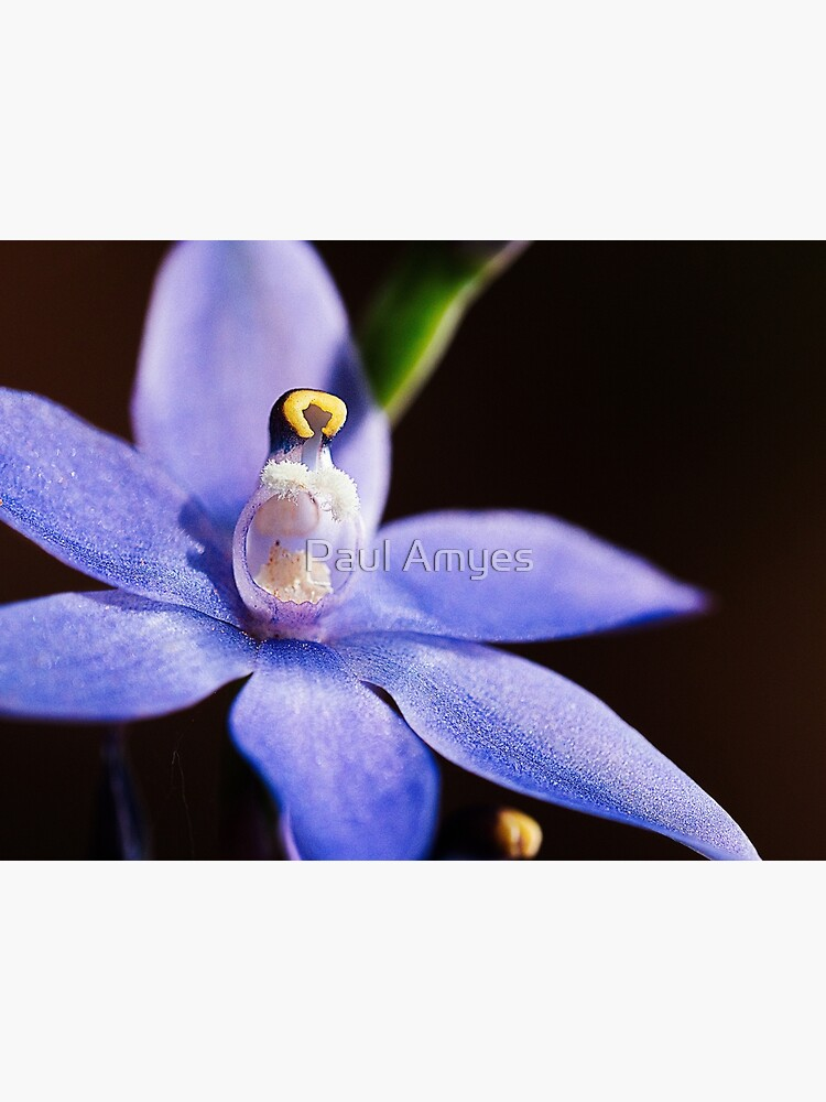 Scented Sun Orchid by AmyesPhotograph