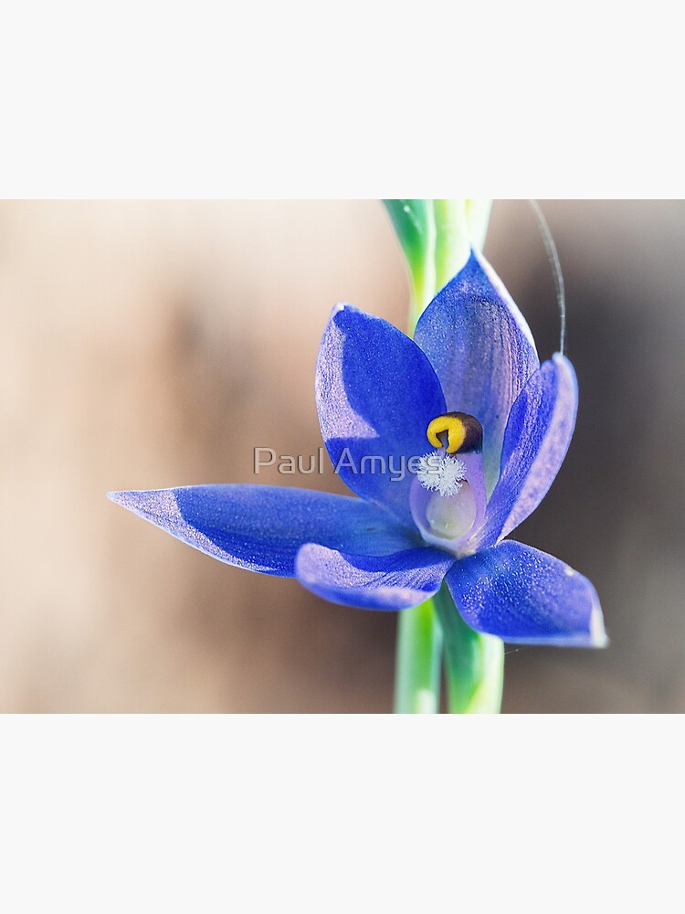 Granite Sun Orchid by AmyesPhotograph