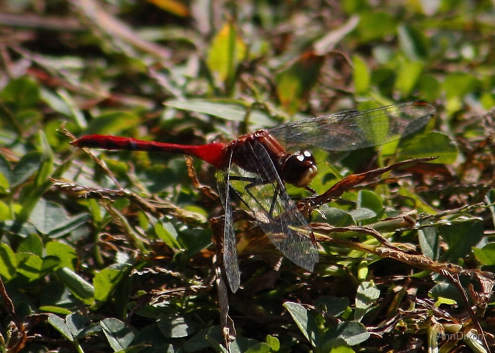 Red Dragonfly by AnnDixon
