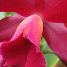 Tutankhamun Orchid Flower Close-Up by glennc70000