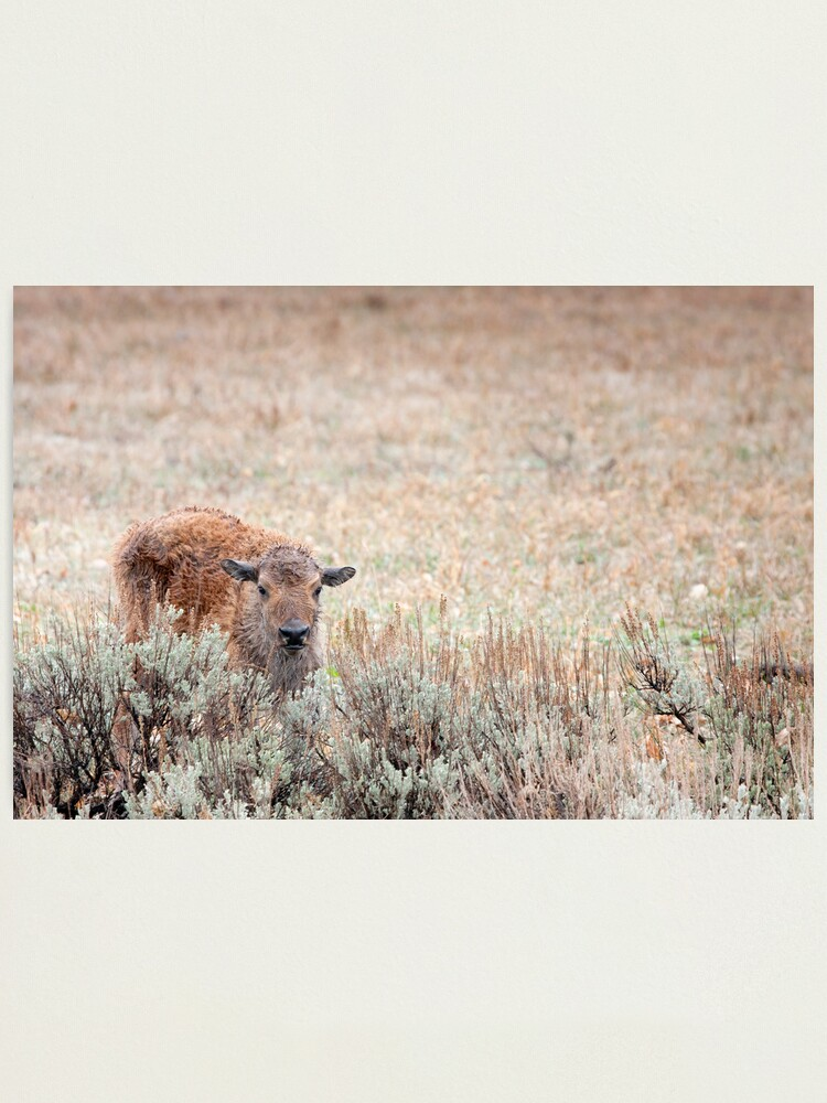 Alternate view of Sad Calf In The Freezing Rain Photographic Print