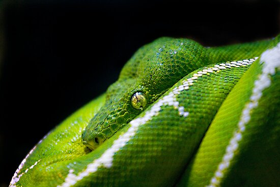 Tree Python by Malcolm1841