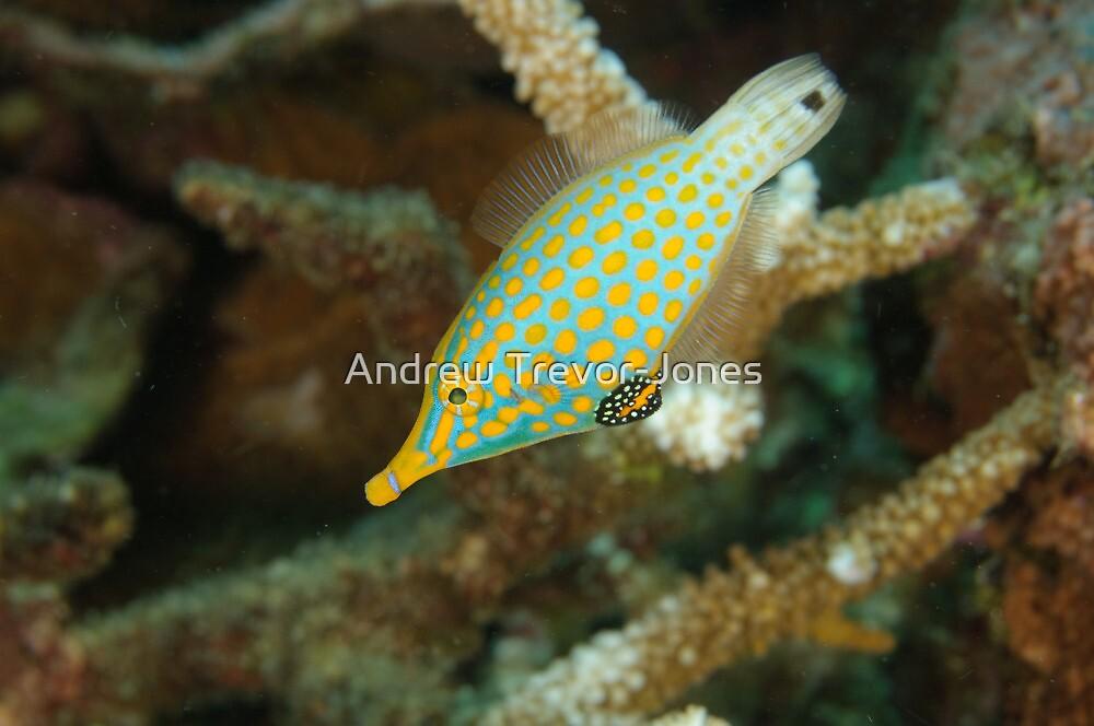 Orange-Spotted Filefish - Oxymonacanthus longirostris by Andrew Trevor-Jones
