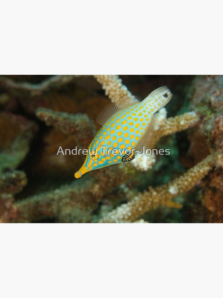Orange-Spotted Filefish - Oxymonacanthus longirostris by andrewtj