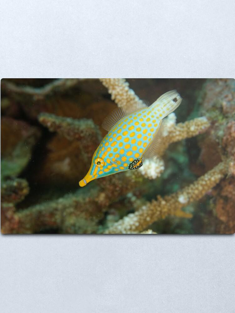 Alternate view of Orange-Spotted Filefish - Oxymonacanthus longirostris Metal Print