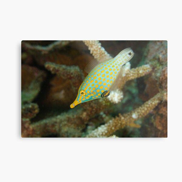 Orange-Spotted Filefish - Oxymonacanthus longirostris Metal Print