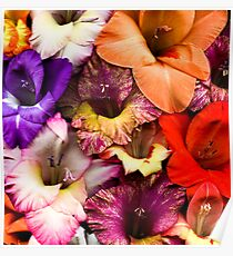 Colorful Gladiolas Poster