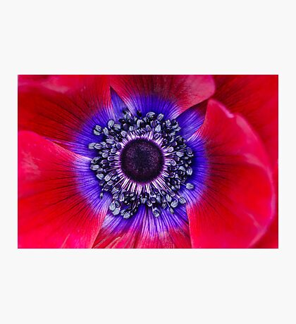 Red and Blue Poppy Photographic Print
