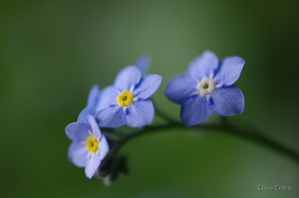 forget me not by Clare Colins