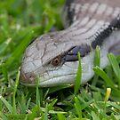Blue Tongue Lizard by GoldZilla