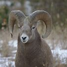 A BIG RAM UP CLOSE  by SwanSong
