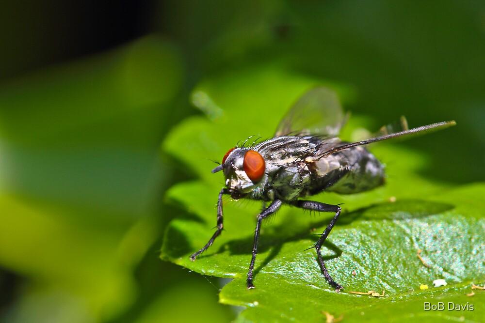 The Fly by BoB Davis