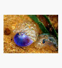 Purple sea snail + blue-bottle Photographic Print
