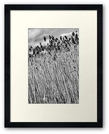 Reeds Bool Lagoon by tlees