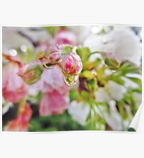 Cherry Blossom Droplet Poster