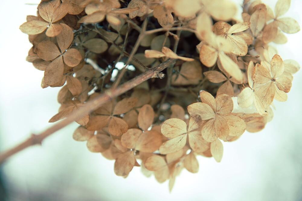 Hydrangea in winter by Kasia Fiszer