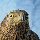Hawk by Lifeware