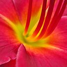 Day Lily by everpresent