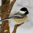 Black-capped Chickadee Contemplating Next Move by Robert Miesner