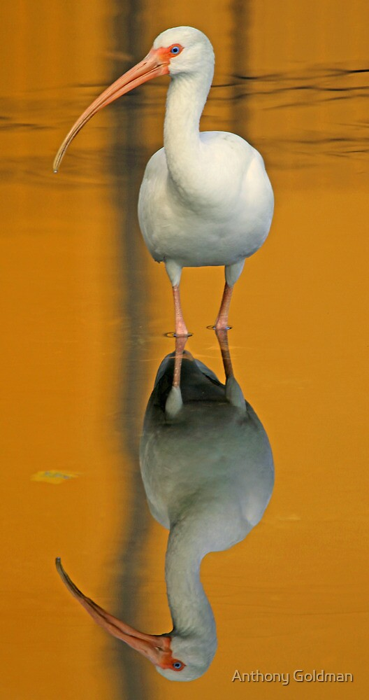 White ibis and reflection 2 by Anthony Goldman