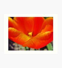Tulip Petals Art Print