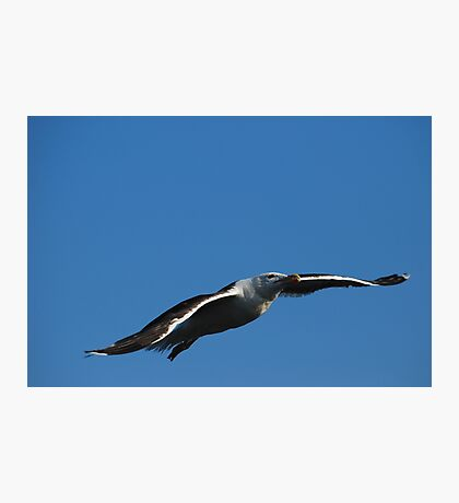 Great Black-backed Gull Photographic Print
