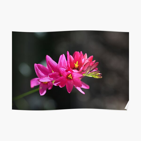 Ixia In Hot Pink Poster