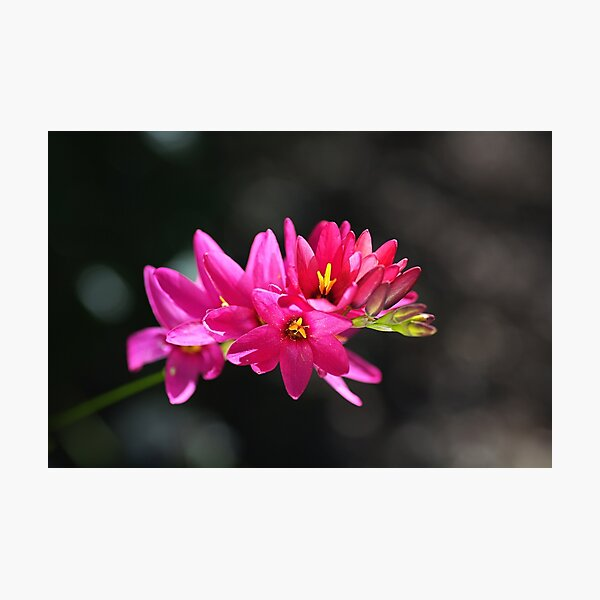 Ixia In Hot Pink Photographic Print
