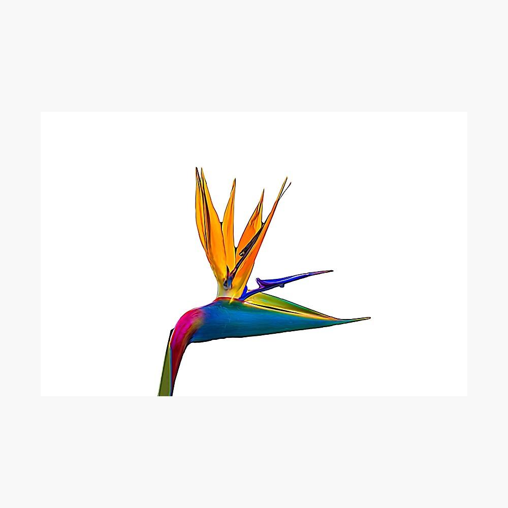 Bird of Paradise Flower (colour paint) Photographic Print