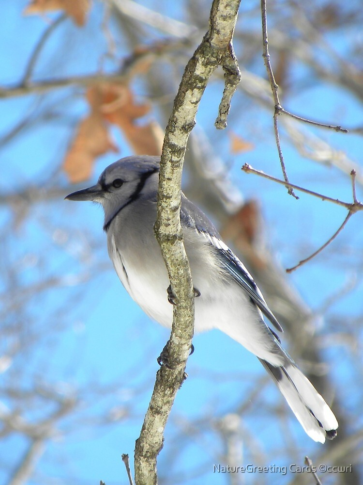Blue Jay, and Blue Skies by NatureGreeting Cards ©ccwri