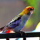 Eastern Australian Parrot by Cathie Trimble