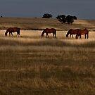 Golden Pastures by doug hunwick