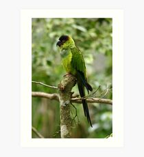 South American Nanday Conure Art Print