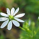 Small wildflower by Ana Belaj