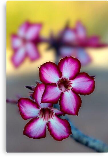 Colour Of Life XXXIX (Impala Lily) by Damienne Bingham