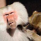Baboon Grooming by Joe Jennelle