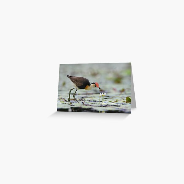 Comb-crested Jacana Greeting Card