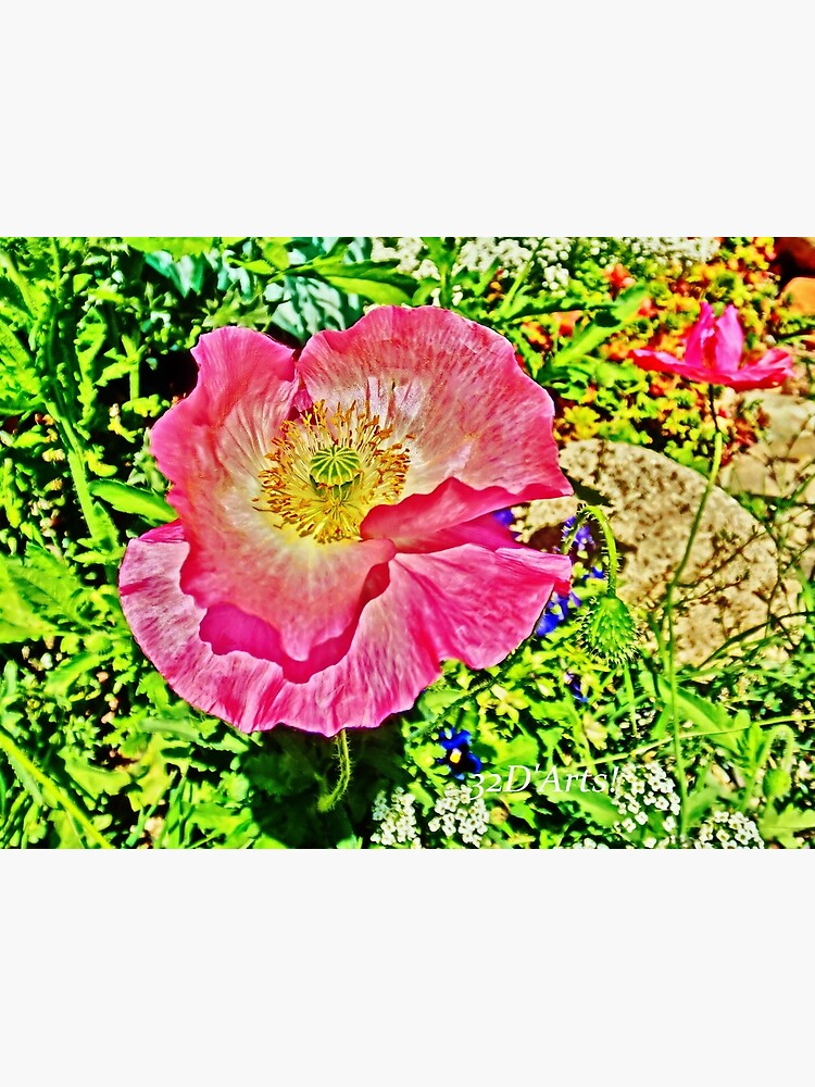 Flamboyant Pink Poppy by 32DARTS
