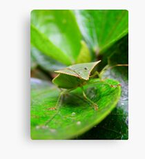 Loxa Flavicollis (Stink Bug) Canvas Print