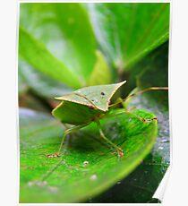 Loxa Flavicollis (Stink Bug) Poster
