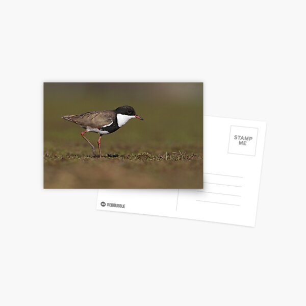 Red-kneed Dotterel Postcard