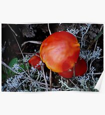 Orangey Red  Mushroom   Poster