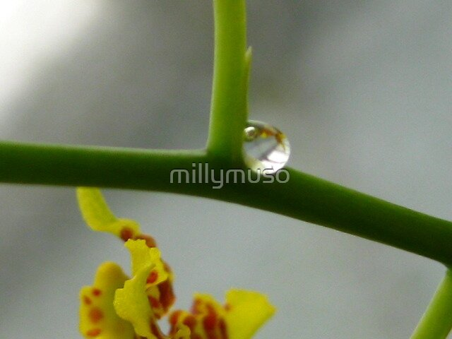 Oncidium reflection by millymuso