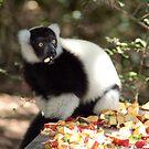 lemur feeding by shaft77