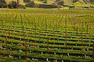 Marlborough Vineyard 2 by Werner Padarin