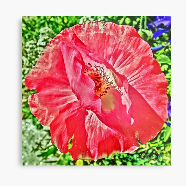 Bashful Pink Poppy Metal Print