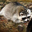 Resting Raccoon by Dawn di Donato